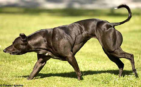 anabolicos para perros bull terrier