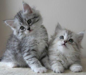 gatto_siberiano_siberian_cat