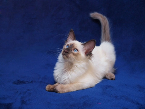 https://www.petpassion.tv/blog/wp-content/uploads/2011/06/gatto-balinese.jpg
