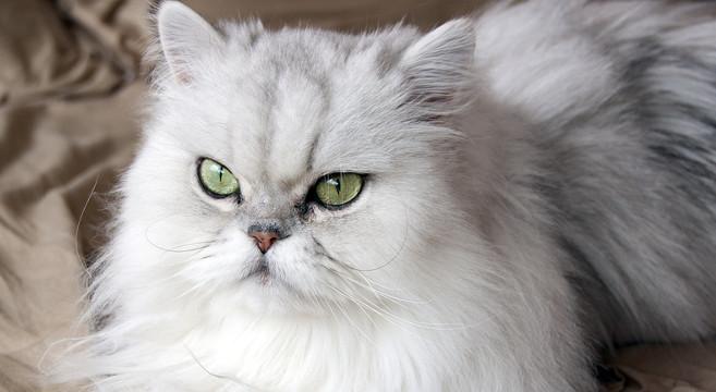 Immagini Gatti più Belli e rari, Esotici