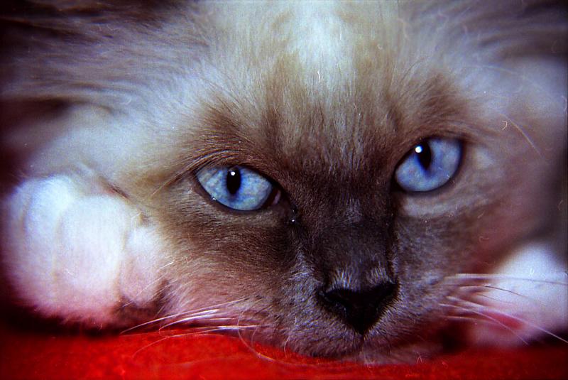 - foto-gatto-razza-sacro-di-birmania1