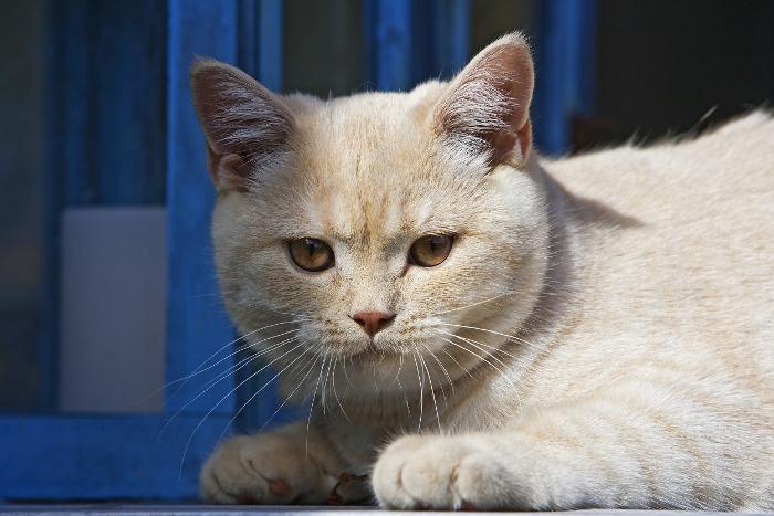 stasera un micio...in fretta (io, lui no!) gatto di razza British Shorthair dans a-mici gatto-di-razza-british