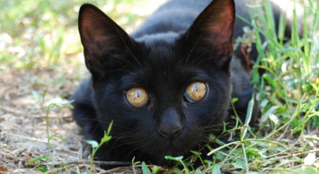 Gatti neri: come difenderli dai pericoli di Halloween