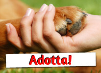 Golden Retriever in adozione a Roma