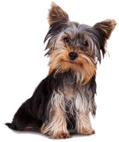 Cani di piccola taglia: caratteristiche di 7 razze da ...